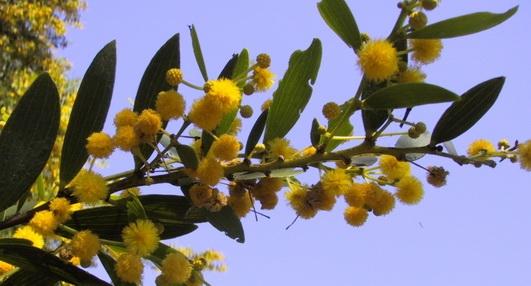Plants Seeds A Acacia Spp Shaman Australis Botanicals