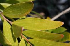 Plants & Seeds > A > Acacia spp  | Shaman Australis Botanicals